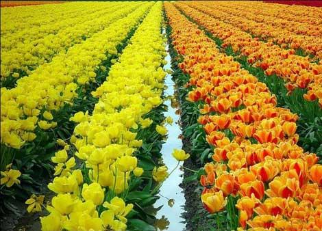 هلند سرزمین گل لاله را بشناسید