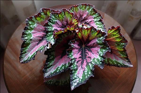 گیاهان آپارتمانی بگونیا را می شناسید؟