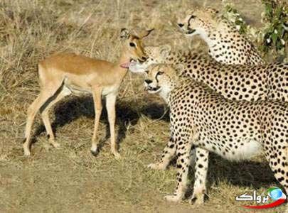 نوازش یک آهو توسط سه یوزپلنگ ! عکس