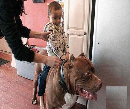 اصیل ترین و بزرگترین سگ پیب بول در جهان