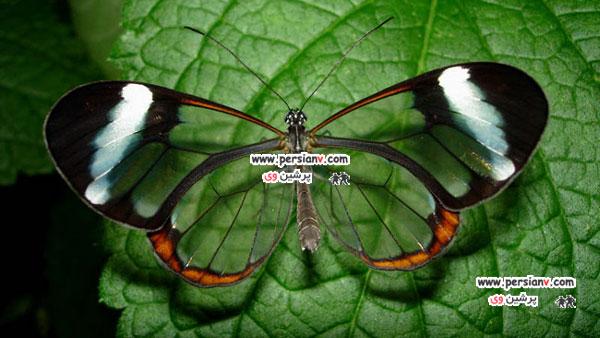 تصاویر منحصر به فرد پروانه شیشه ای عکس