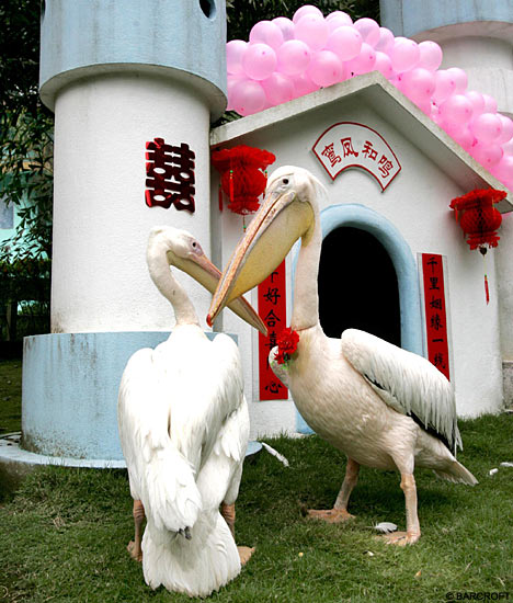 عکس : مراسم ازدواج دو پلیکان !
