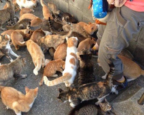 لشکر گربه ها در جزیره ژاپنی