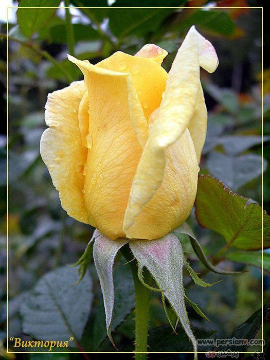 عکس : زیباترین گلهای رز زرد